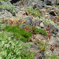 Wildflowers along the PCT.- Nannie Peak/PCT Loop Hike