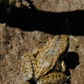 Oregon spotted frog (Rana pretiosa), a locally endangered species.- Walupt Creek Falls