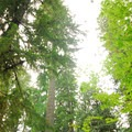 Old-growth canopy over the campground.- North Fork Campground