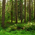 Second-growth forest outside of the campground.- North Fork Campground