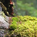 Moss and ice meet in the late spring.- Ruckel Ridge Loop Hike