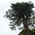 A Doug fir perches precariously on rock above the trail.- Ruckel Ridge Loop Hike