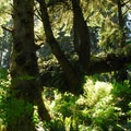 Old-growth sitka spruce along the North Head hiking trail.- Cape Disappointment State Park