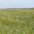 Dune grass as far as the eye can see.- Leadbetter Point Loop Hiking Trail