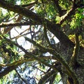 Old-growth sitka spruce (Picea sitchensis).- McKenzie + North Head Hiking Trails