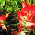 Indian paintbrush growing at Whaleshead Beach.- Whaleshead Beach