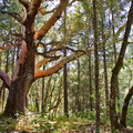 An example of the amazing trees at Cathedral Hills.- Cathedral Hills Trail System
