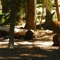 Black-tailed deer in the campground.- Waldo Lake, North Waldo Campground