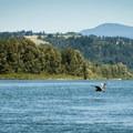 A great blue heron flies toward Steigerwald Lake National Wildlife Refuge..- Columbia River: Reed Island Channel