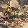 Golden-mantled ground squirrel (Callospermophilus lateralis).- Crater Lake National Park