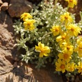 Narrowleaf goldenweed (Haplopappus stenophyllus).- Crater Lake National Park