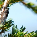 The common and very loud minor cicada (Platypedia minor).- Garfield Peak Hike