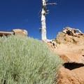 Gray rabbitbrush (Ericameria nauseosa).- Garfield Peak Hike