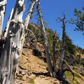 Whitebark pine (Pinus albicaulis) along the trail.- Garfield Peak Hike