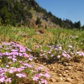 Spreading phlox (Phlox diffusa).- Garfield Peak Hike