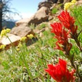 Common red paintbrush (Castilleja miniata).- Garfield Peak Hike