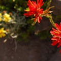 Common red paintbrush (Castilleja miniata).- Mount Scott