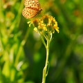 Hydaspe fritillary (Speyeria hydaspe), a type of butterfly.- LaPine State Park