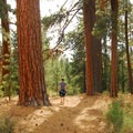 Giant ponderosa pines (pinus ponderosa) in the day use area.- LaPine State Park