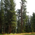 'Big Tree' ponderosa pine (Pinus ponderosa).- Big Tree Ponderosa Pine
