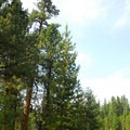 Neighboring giant ponderosa pine (Pinus ponderosa).- Big Tree Ponderosa Pine