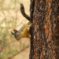 Unidentified squirrel species (help us identify it by providing feedback).- Big Tree Ponderosa Pine