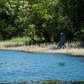 A great blue heron takes off from the banks of Reed Island State Park.- Reed Island State Park Campsite