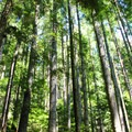 Douglas fir trees compete for sunlight along the trail.- Mount Si Hike