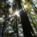 The early part of the hike is shaded, and sunlight filters through the high limbs.- Mount Si Hike