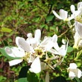 Western serviceberry (Amelanchier alnifolia).- Metolius River Trail West