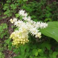 False Solomon's seal (Maianthemum racemosum)- Metolius River Trail West