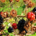 Wild berries growing in abundance.- Government Cove Peninsula