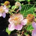 Clustered wild rose (Rosa pisocarpa).- Government Cove Peninsula