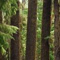 Shasta red fir (Abies magnifica var. shastensis).- Godfrey Glen Loop Trail