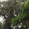 Giant shasta red fir (Abies magnifica var. shastensis).- Godfrey Glen Loop Trail