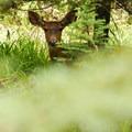 Black-tailed deer (Odocoileus hemionus).- Godfrey Glen Loop Trail