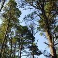 Shore pine/lodgpole pine (Pinus contorta).- Bayocean Peninsula