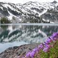 Shrubby penstemon (Penstemon fruticosus).- Ice Lake