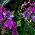Steppe sweetpea (Lathyrus pauciflorus).- Squaw Lakes Campground