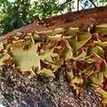 The peeling bark of the madrone tree (Arbutus menziesii), native to the region.- Squaw Lakes Campground