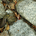 A lizard hides in the rocks at the edge of the lake.- Squaw Lakes Campground