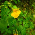 Mountain monkeyflower (Scrophulariaceae).- Lewis River Falls