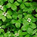 Bunchberry (Cornus unalaschkensis).- Lewis River Falls
