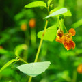 Cape jewelweed (Impatiens capensis).- Molalla River State Park
