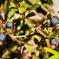 Cascades blueberry (Vaccinium deliciosum).- Gunsight Ridge Trail