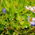 Explorer's gentian (Gentiana calycosa) and aster.- Jefferson Park Hike via Jefferson Ridge