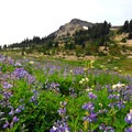 Field of lupine (lupinus) just north of Jefferson Park.- Jefferson Park Hike via Jefferson Ridge