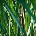 Cattail (Typha) along North Fork Reservoir.- North Fork Reservoir