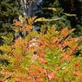Fall foliage.- Bird Creek Meadows