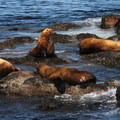 Cattle Point: Steller sea lion (Eumetopias jubatus).- San Juan Island: Cattle Point Sea Kayaking